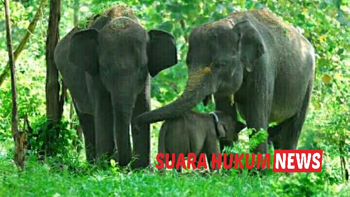 Mitos Mani Gajah, Dipercaya Memiliki Daya Asih tingkat Tinggi