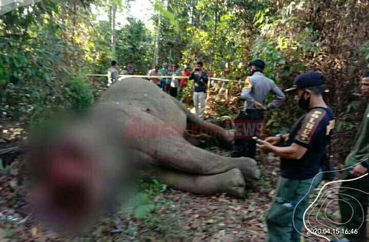 BBKSDA Riau Mengutuk Keras Atas Kematian Gajah Sumatra Dengan Belalai Terpotong
