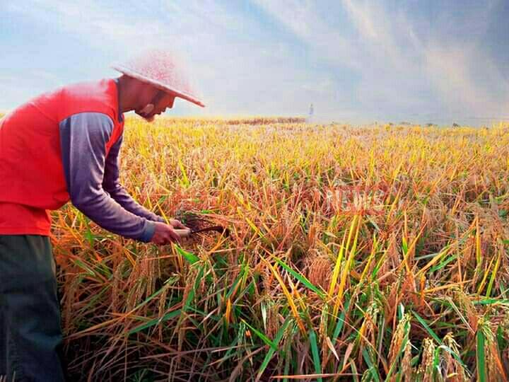 Gubernur Riau: Pertanian Tidak Boleh Berhenti, Gerakan Tanam Didaerah Sendiri